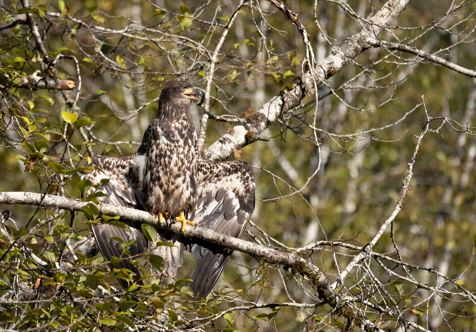 Immature Bald Eagle On The Conuma River