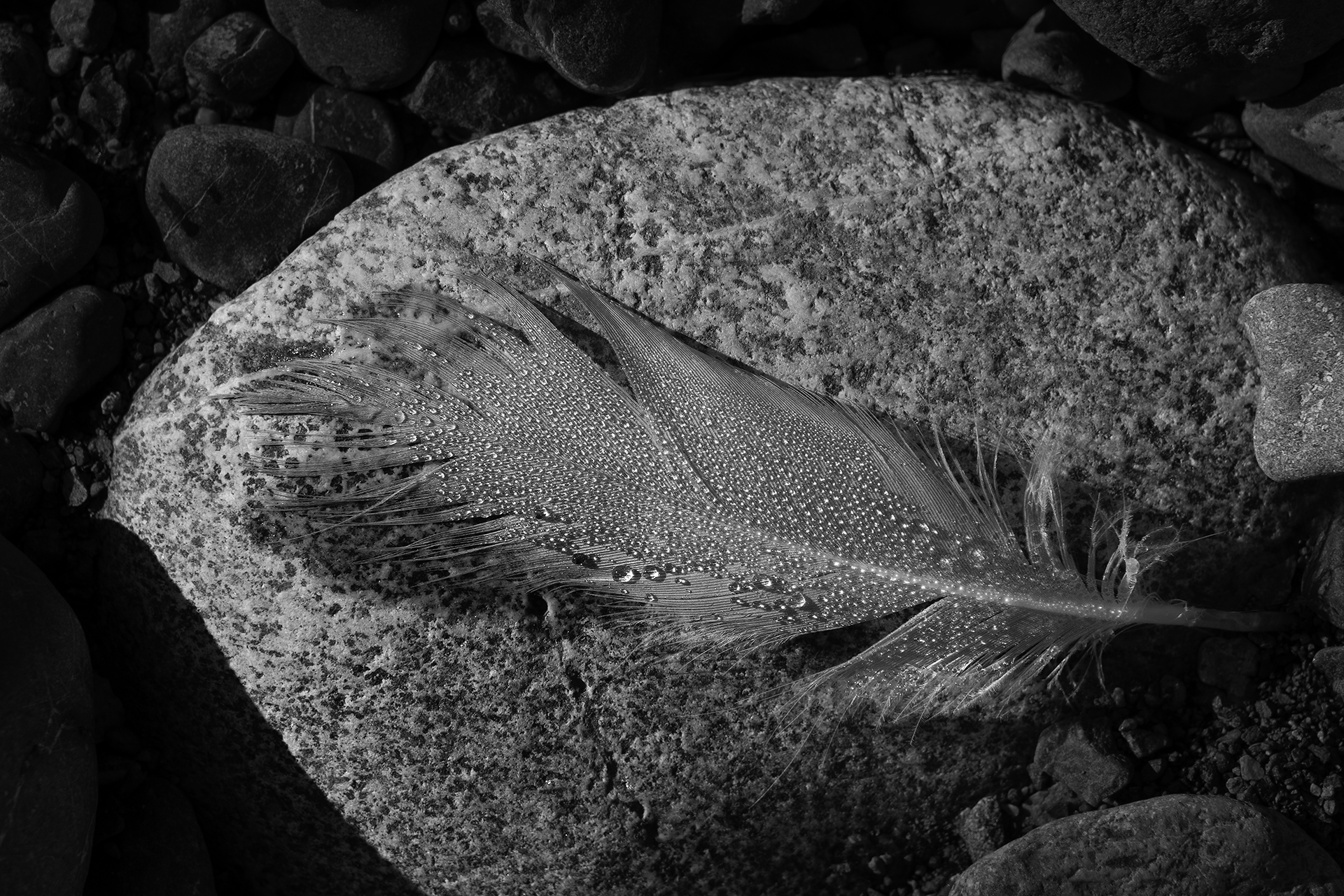 Water Droplets On Feather