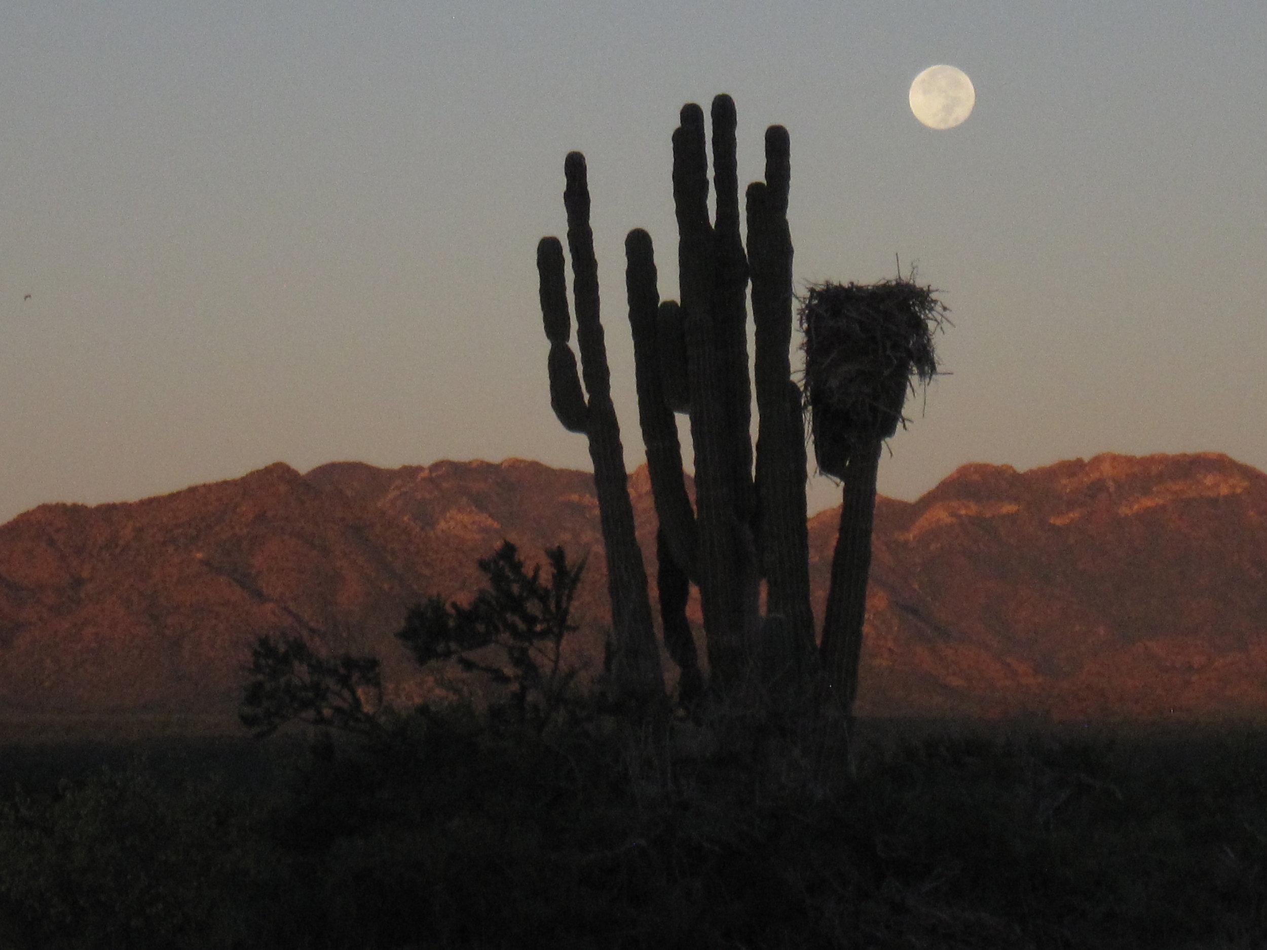 Saguaro and Moon.JPG