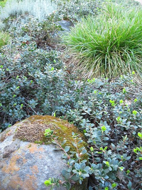 moss manzanita close up.jpg