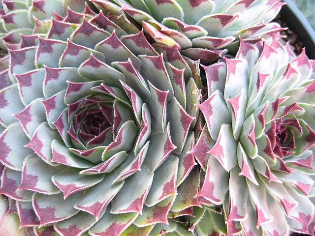 succulent close up.jpg