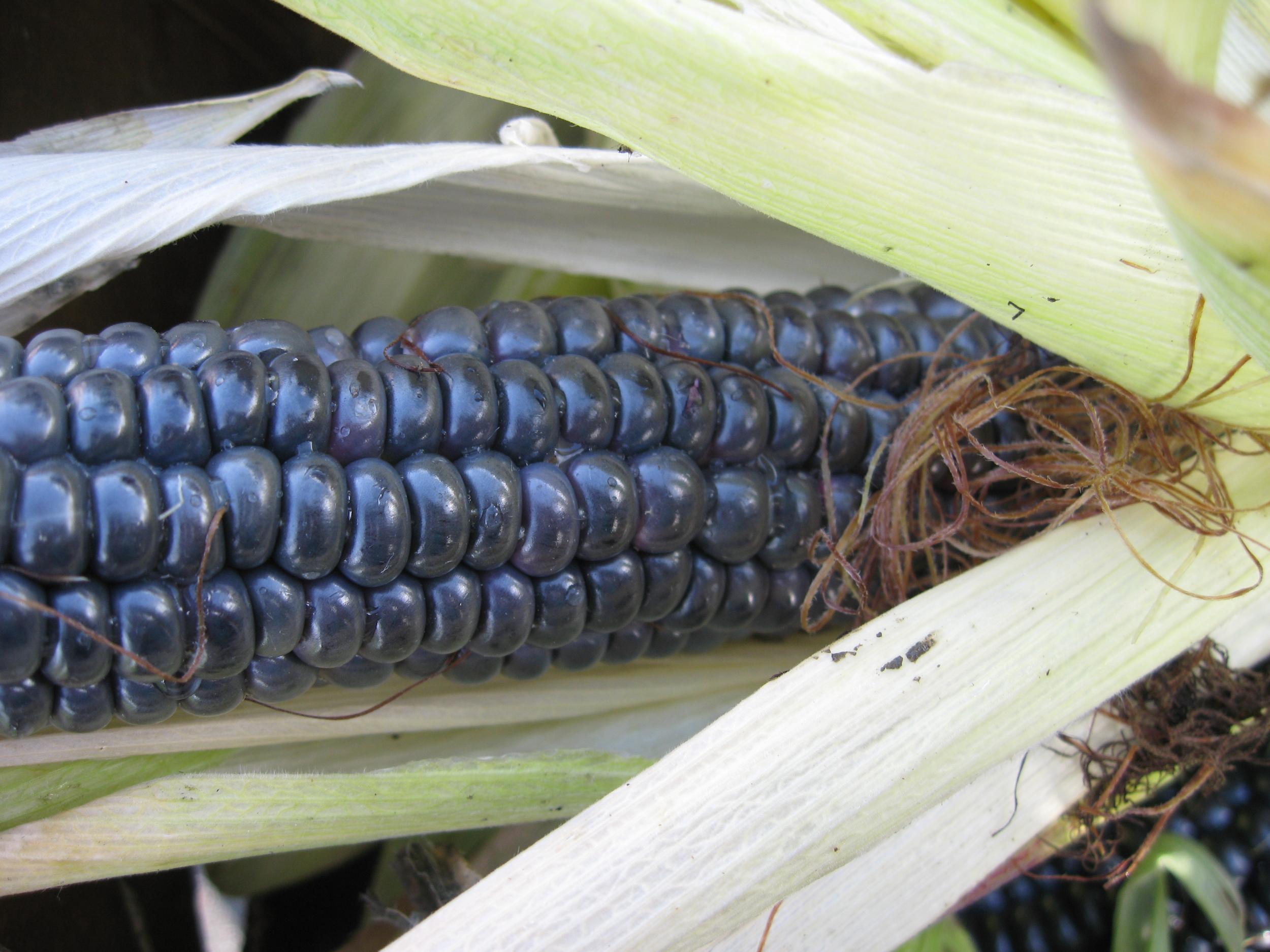 black corn.jpg