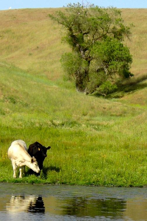 Heifers01.jpg