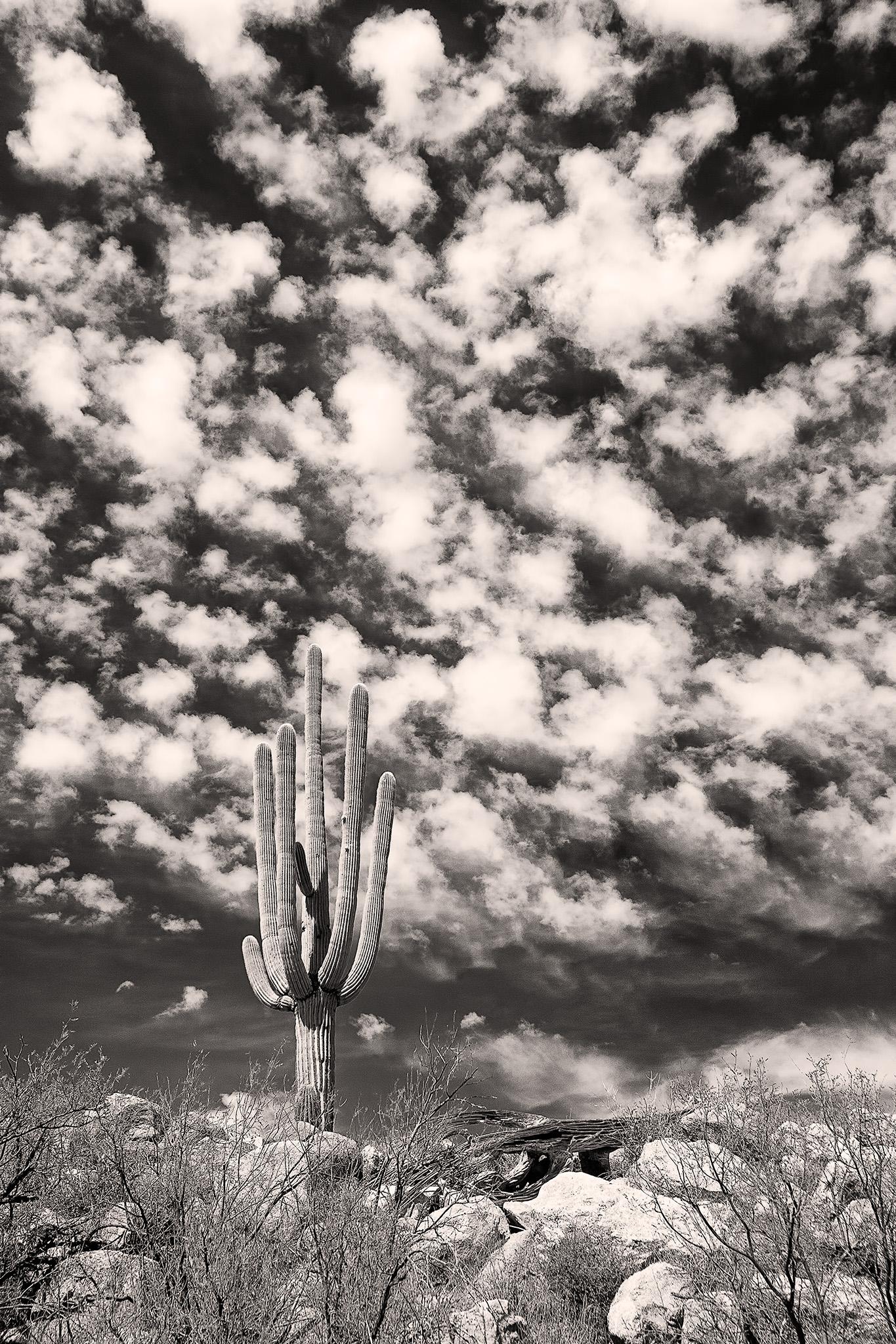Lone Saguaro - Catalina State Park