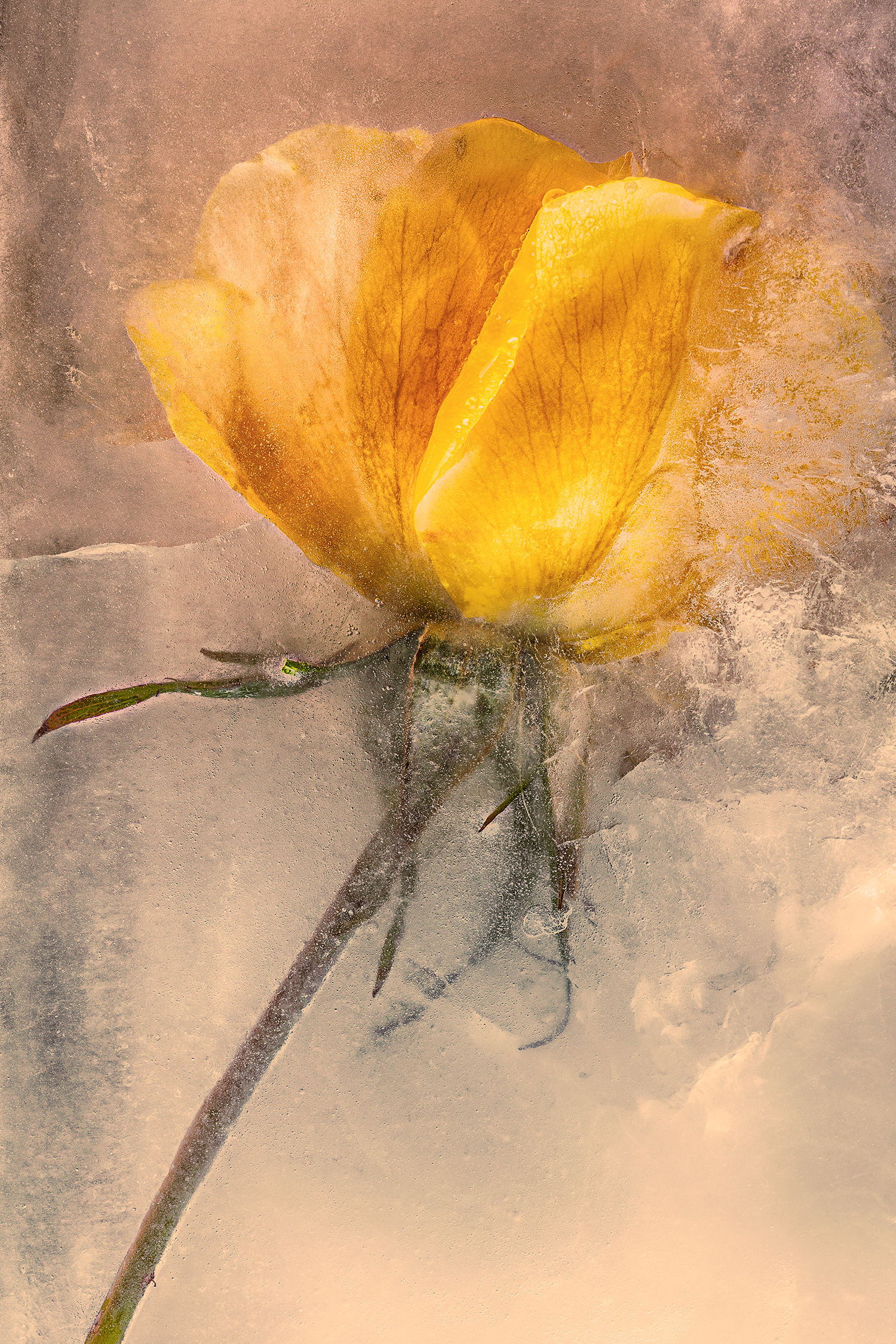 Yellow Rose in Ice