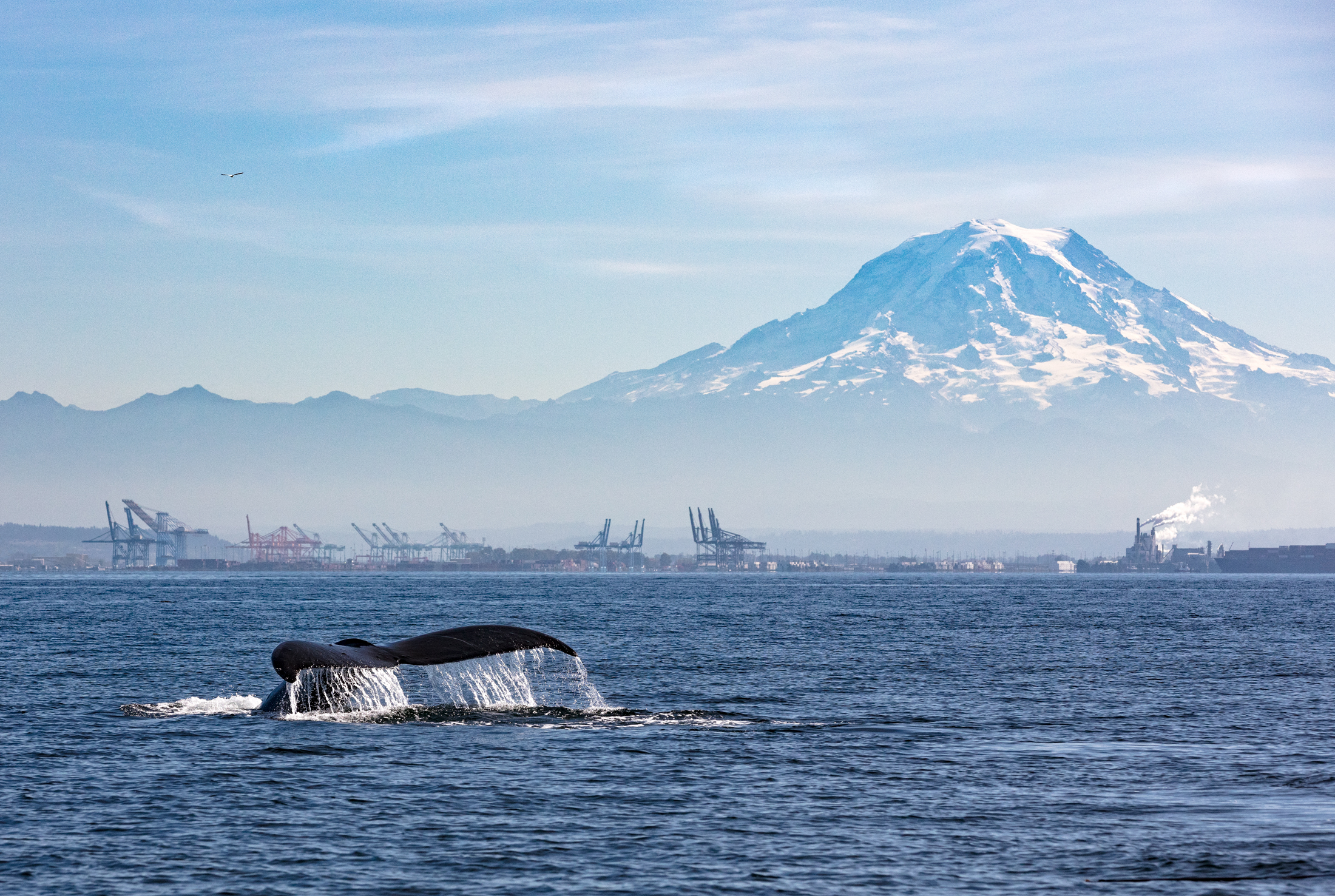 humpback-whale-tail-mount-rainier.jpg