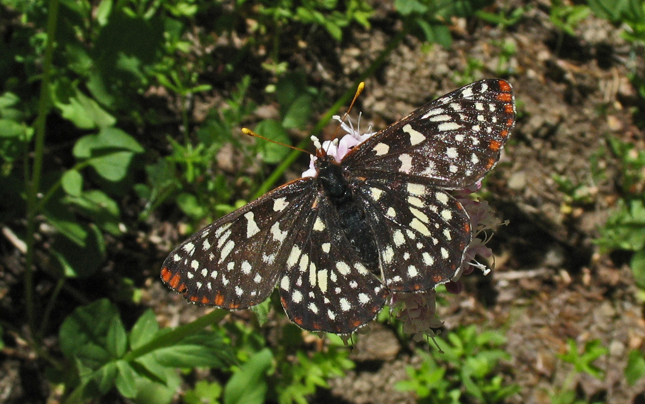 Snowberry Checkerspot