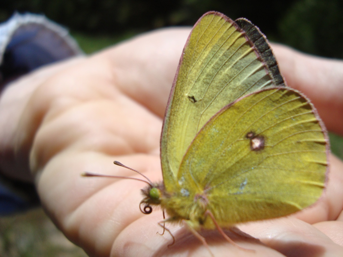 male Western Sulphur ( Colias occidentalis chrysomelas ).  Citizen Scientists Learned how to handle and document Butterflies for the Survey during the Bioblitz 2015.
