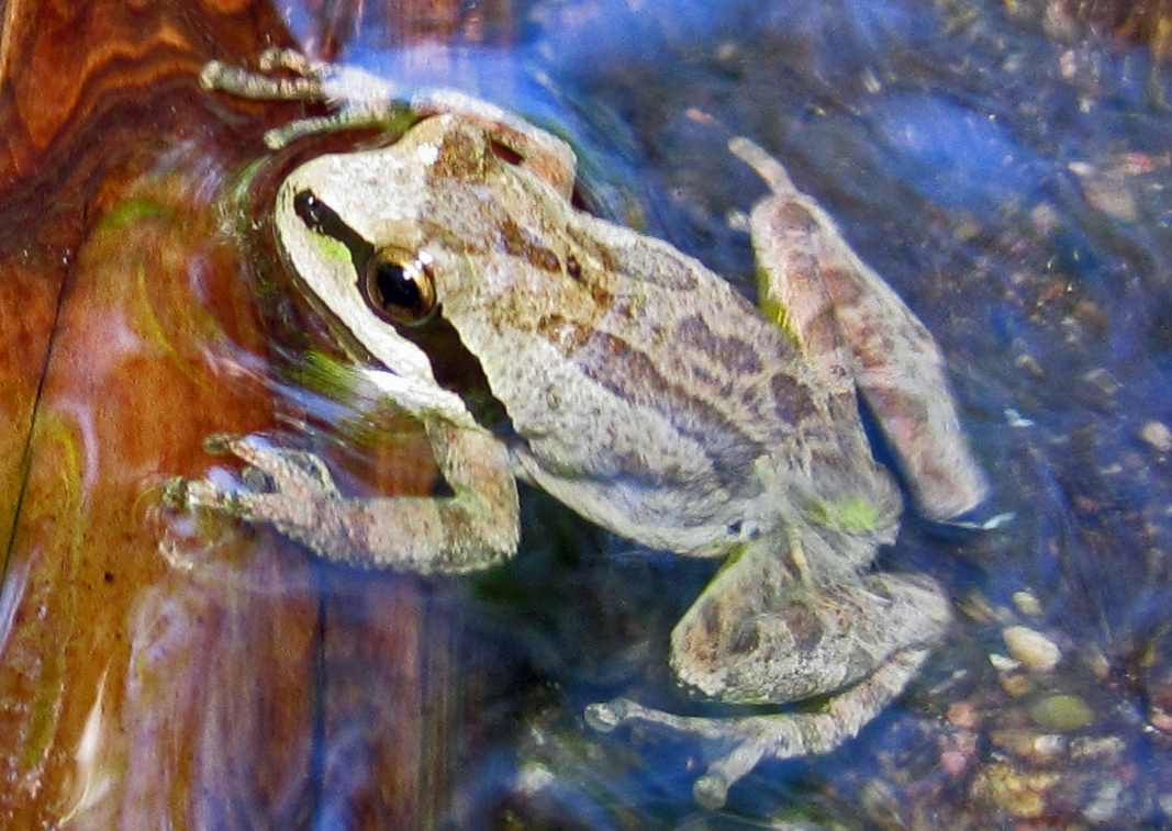 Pacific Chorus Frog. Image by Kristi Reynolds
