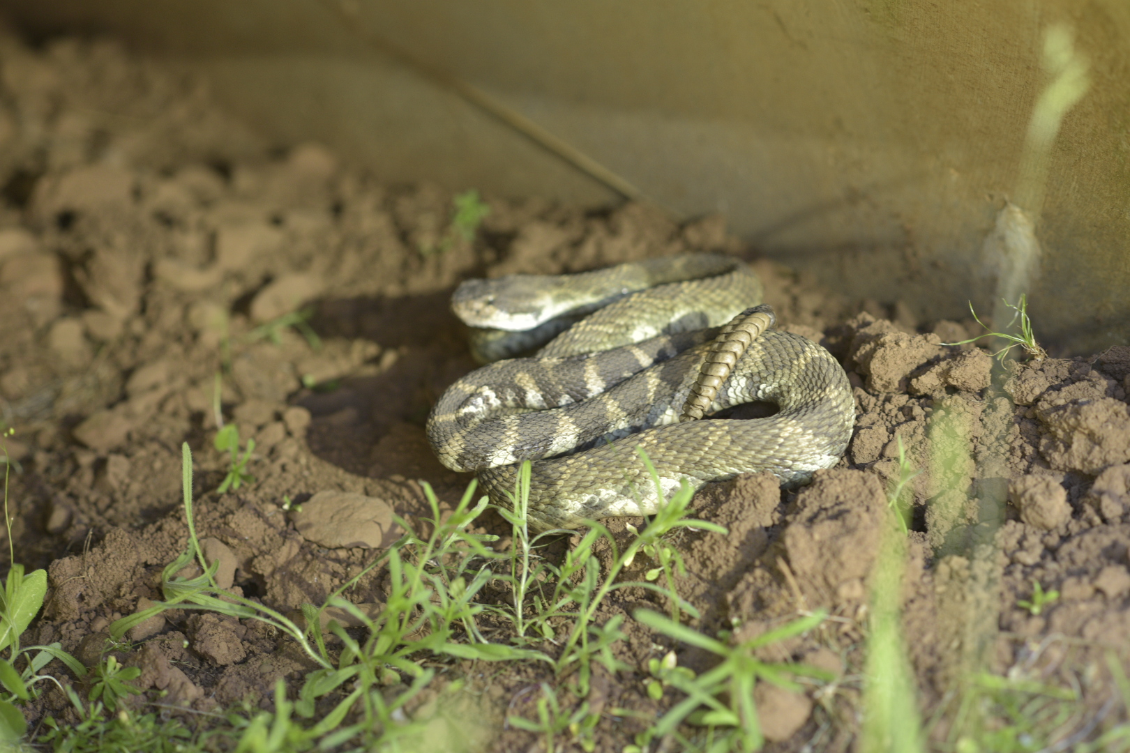 Rattler, in culvert at Box O Ranch site. Shane Stiles photo