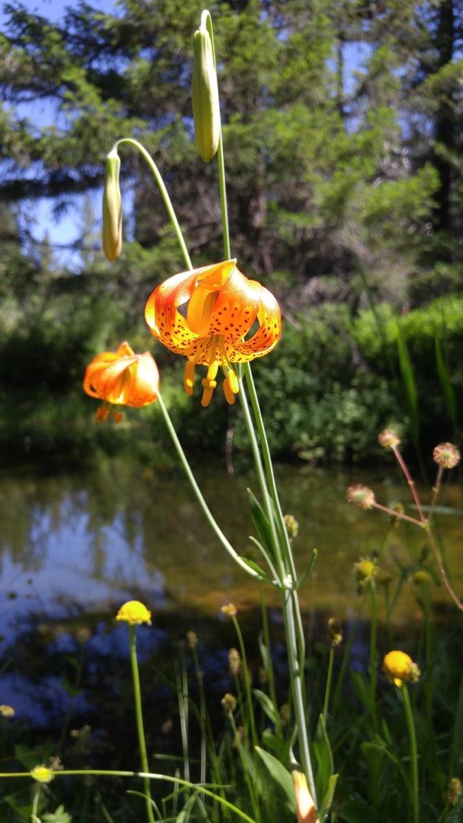 Oregon lily (Lilium columbianum)