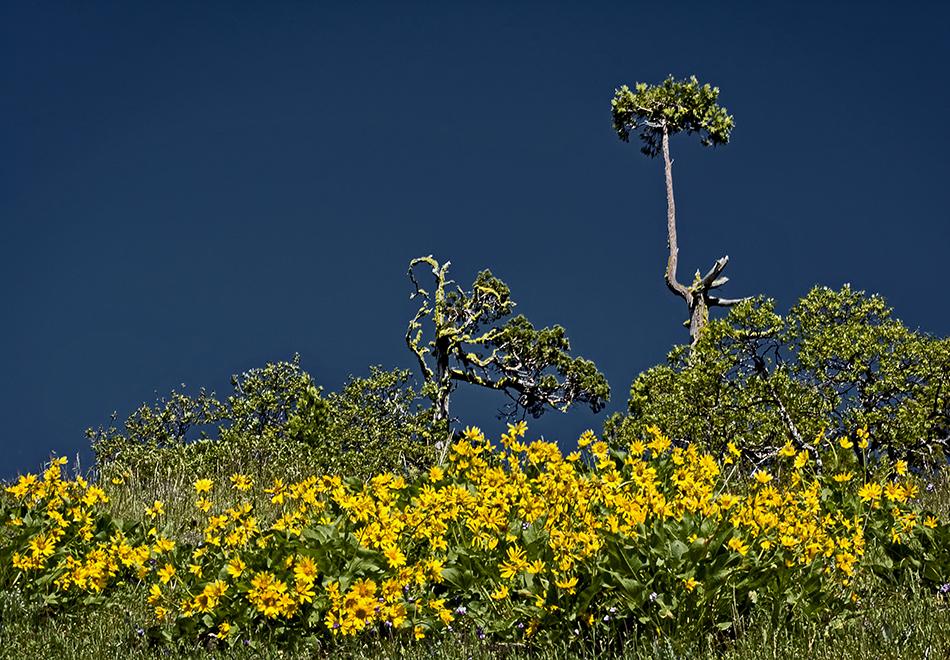 Cedars with Flowers  © Matt Witt