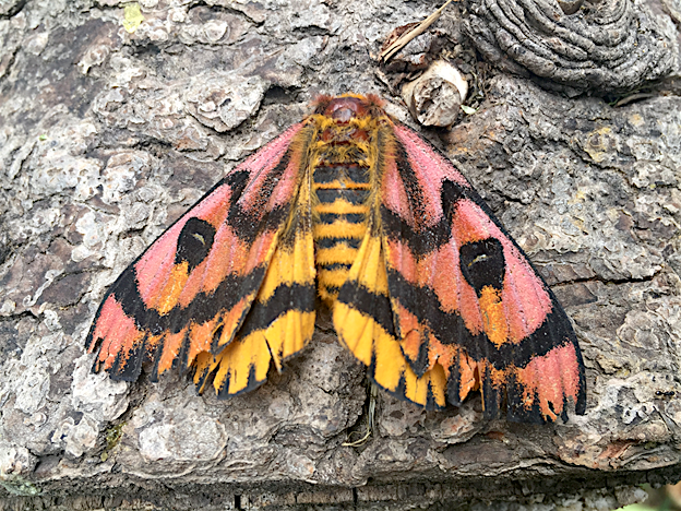 Western Sheep Moth