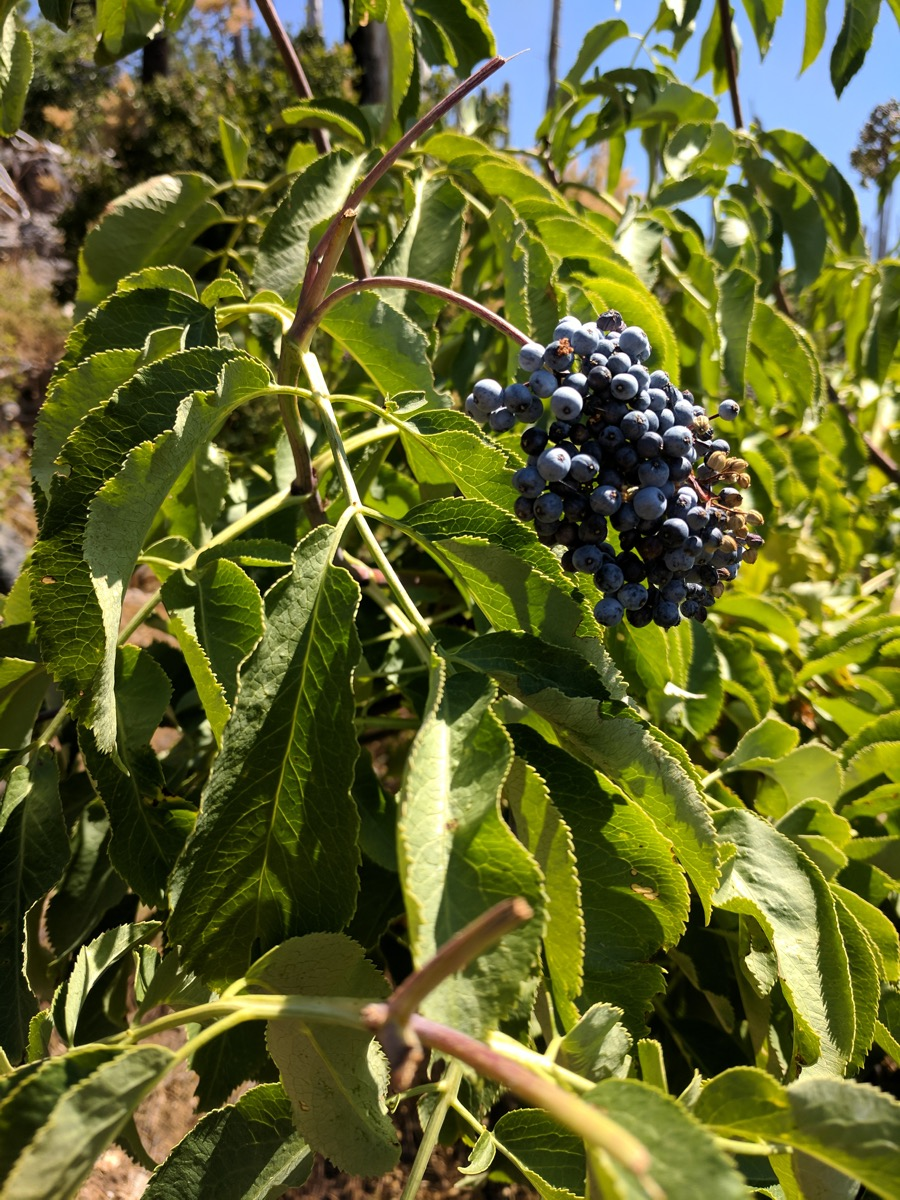 Blue elderberry,  Sambucus cerulea