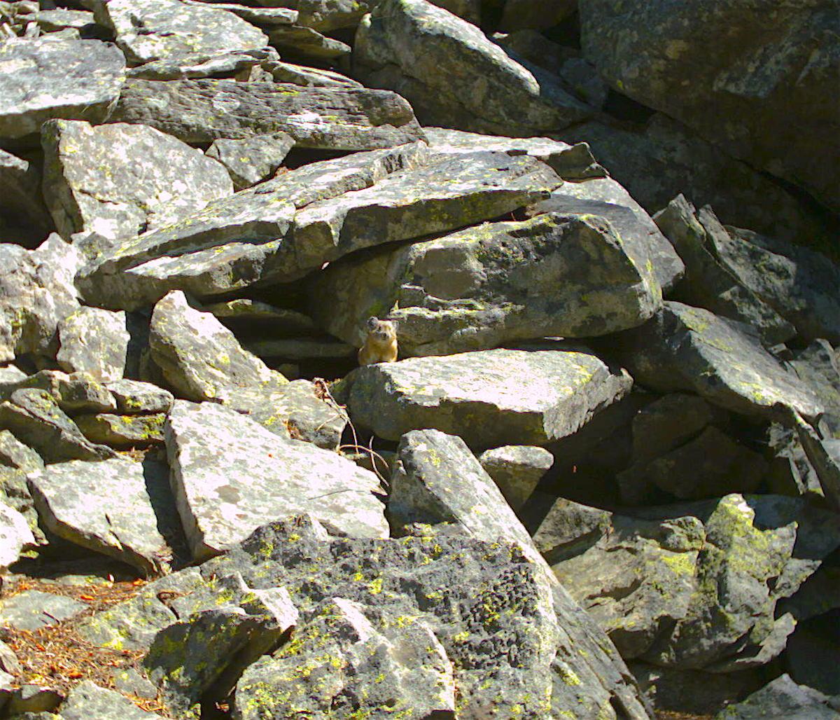 A pika at Vulture Rock