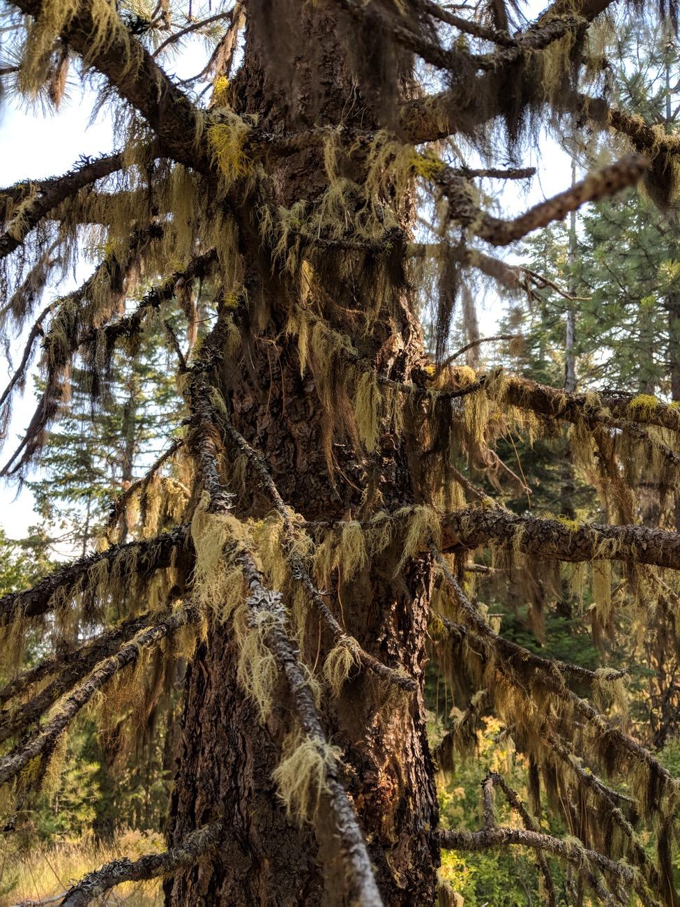 Hair-like lichens