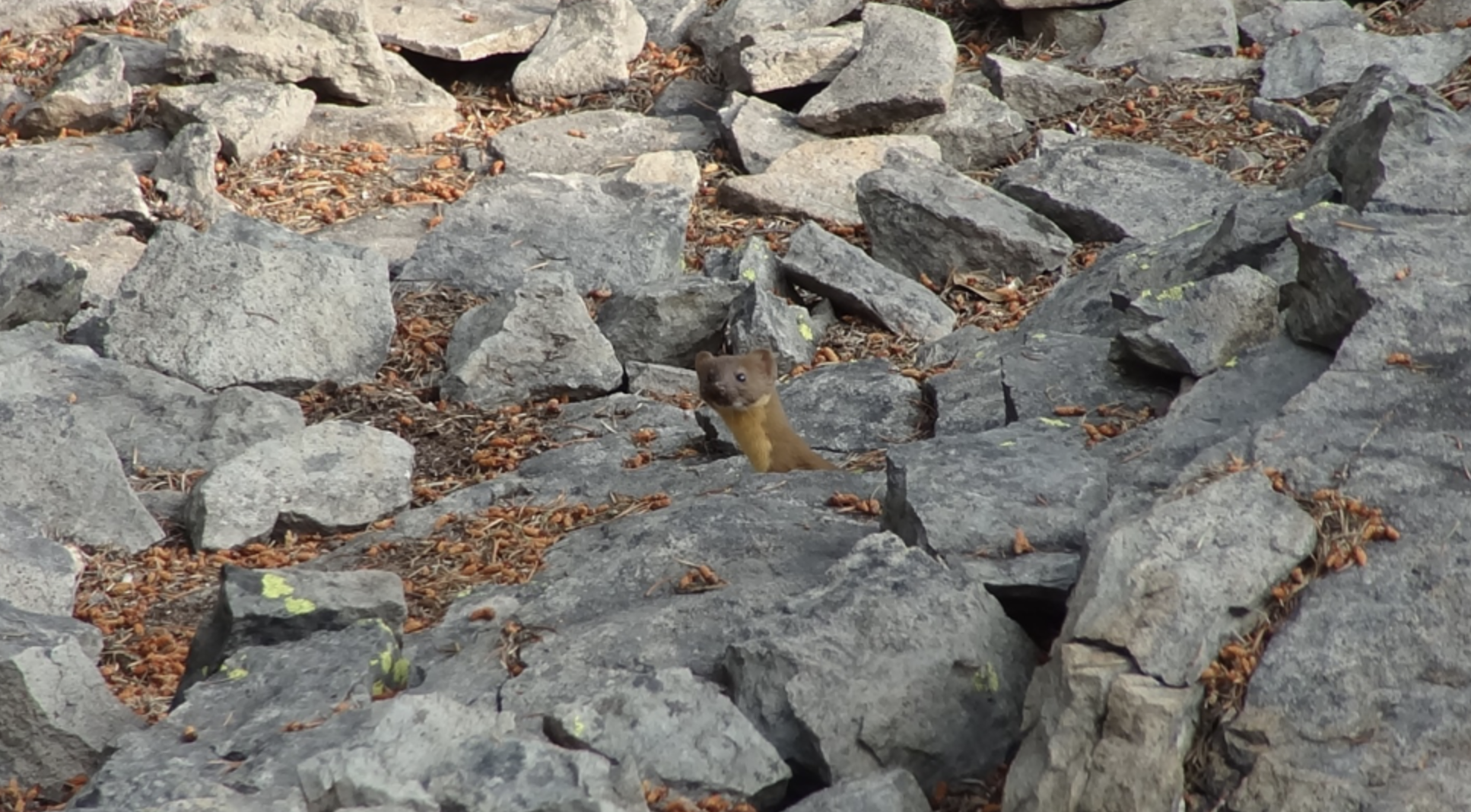 The most common pika predator, the long-tailed weasel, at Vulture Rock. Photo taken by Neil Clayton, student researcher.