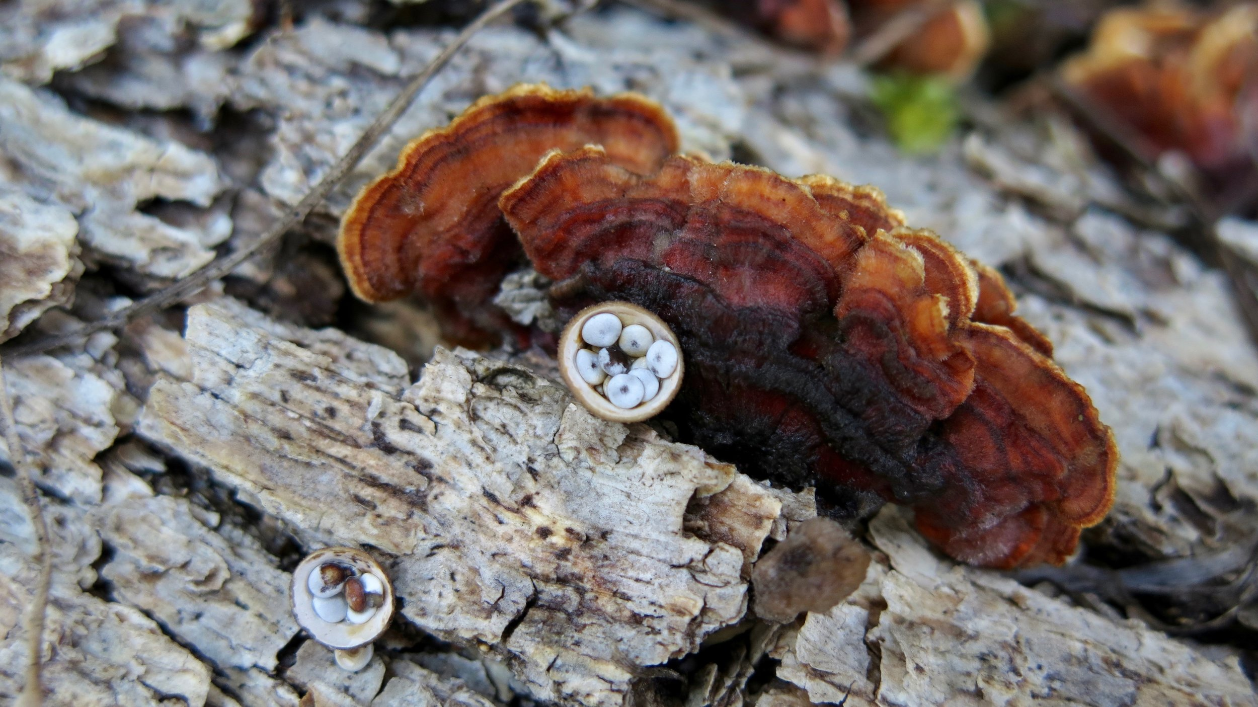 Bird's nest fungi and turkey tail in the oak savanna.