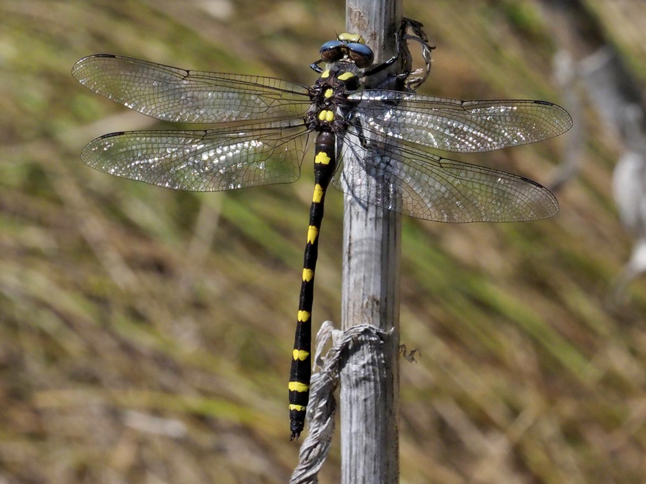 Pacific Spiketail dragonfly ( Cordulegaster dorsalis ) at Vesper Meadow. Dragonflies tend to hold their wings out like an airplane while at rest. Photo by Dennis Paulson