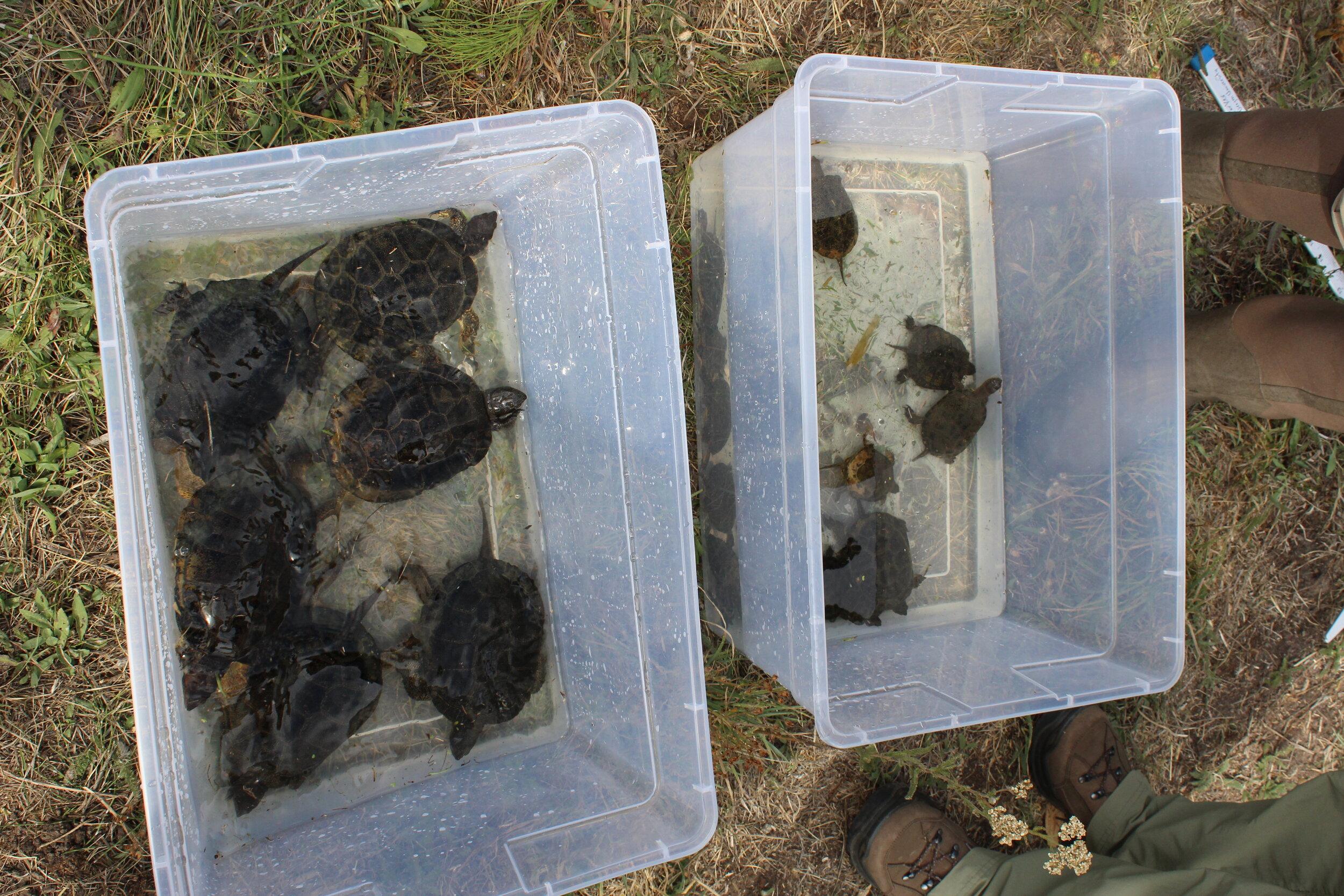 We caught 19 turtles!