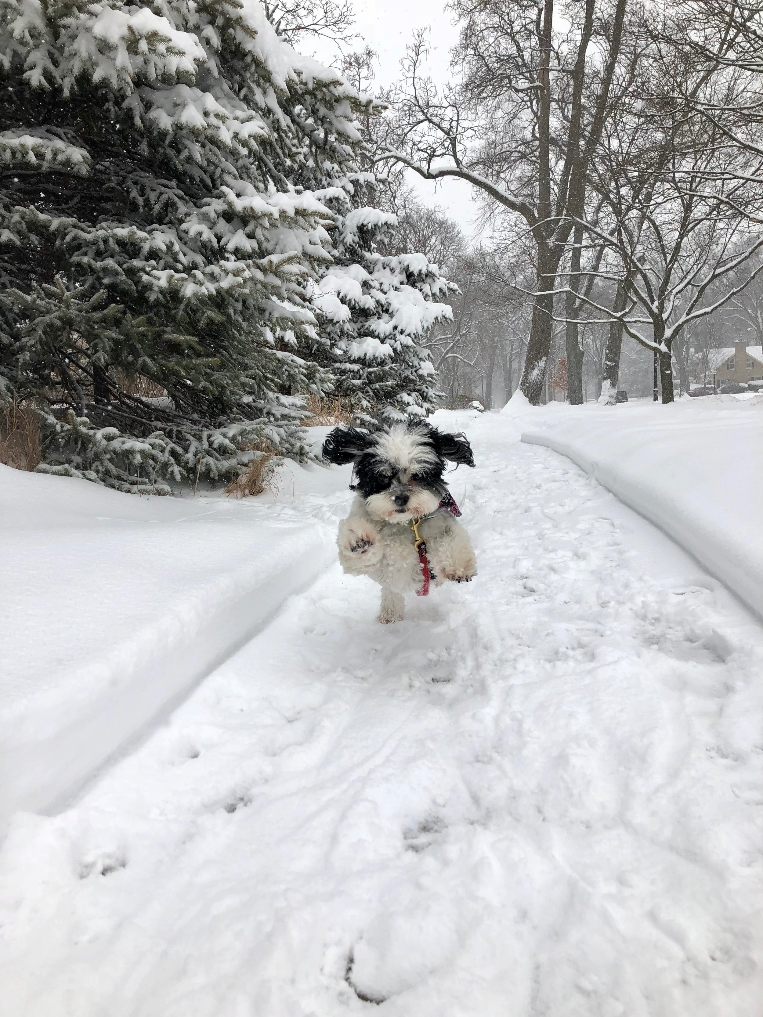 My mom's pup frolicking in the snow. Is this not the most joyful picture you've ever seen??! Photo courtesy of Marju Eisenberg.