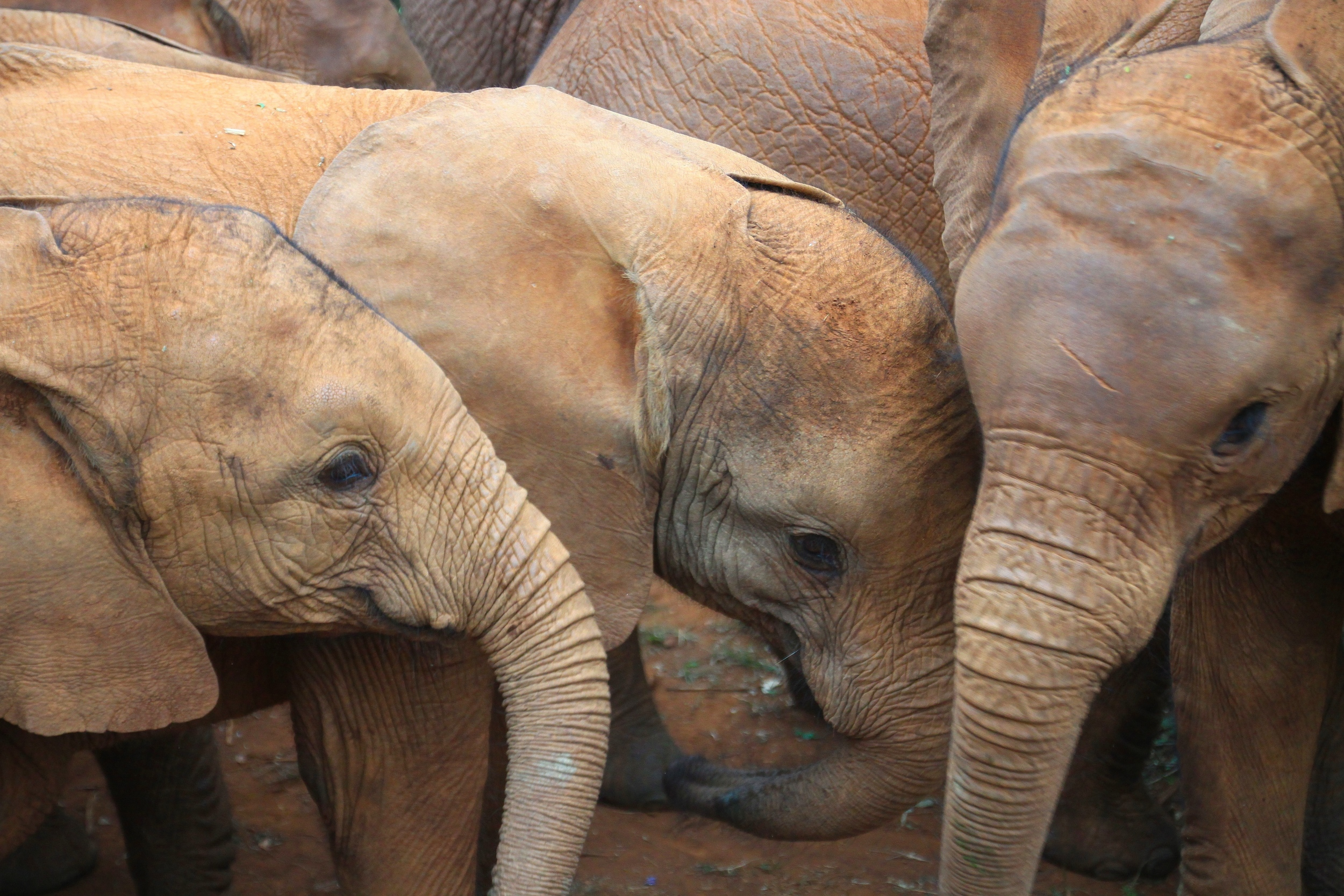 The parents of these orphaned elephants were killed by poachers. They're now being looked after at the David Sheldrick Wildlife Trust in Nairobi