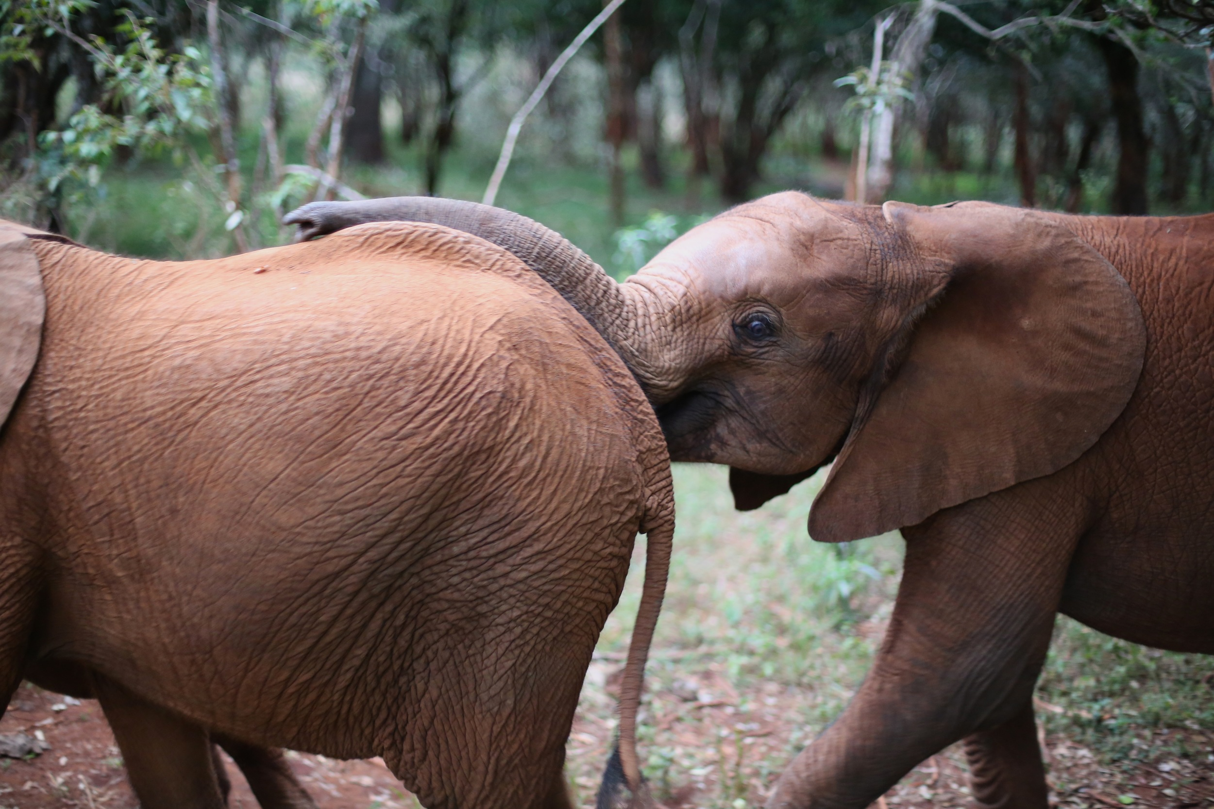 Every morning the orphaned elephants are led out to Nairobi national park, where they spend the day playing and grazing