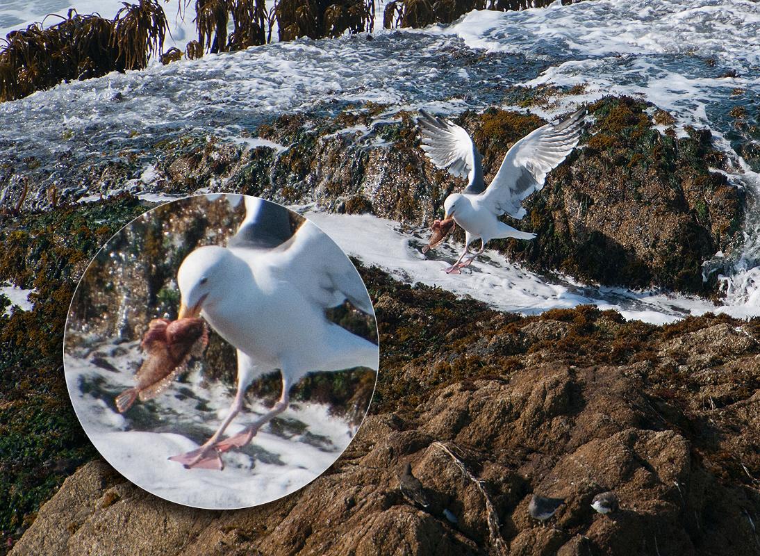 gull with catch.jpg