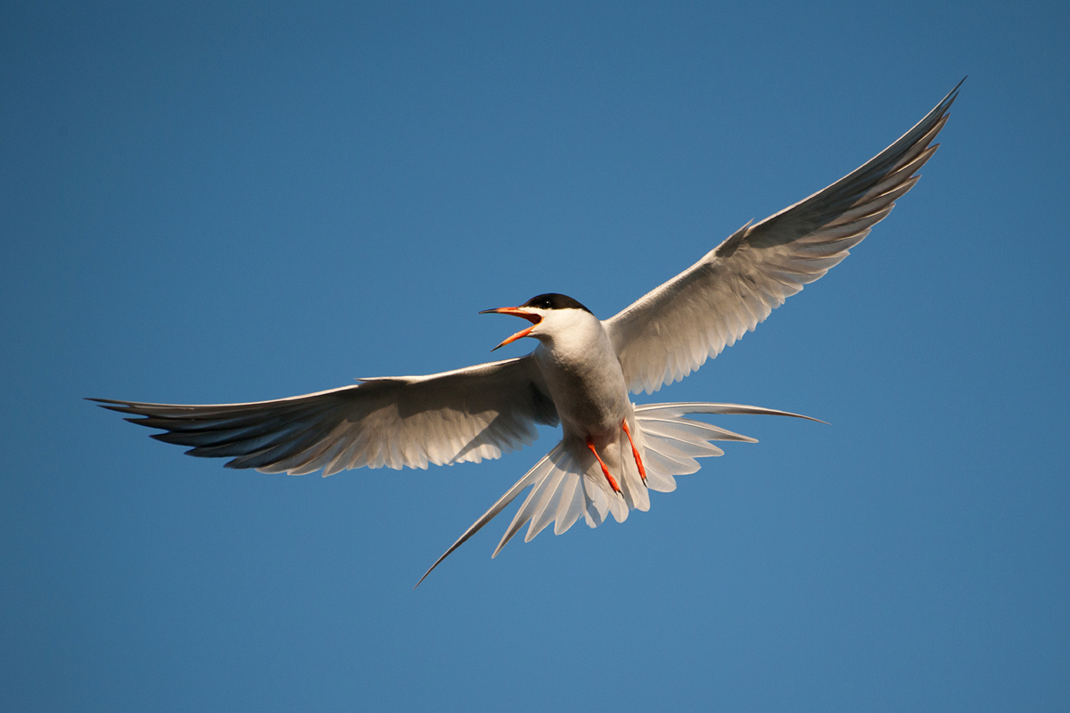 A Forster's Tern foraging at Shoreline Lake.