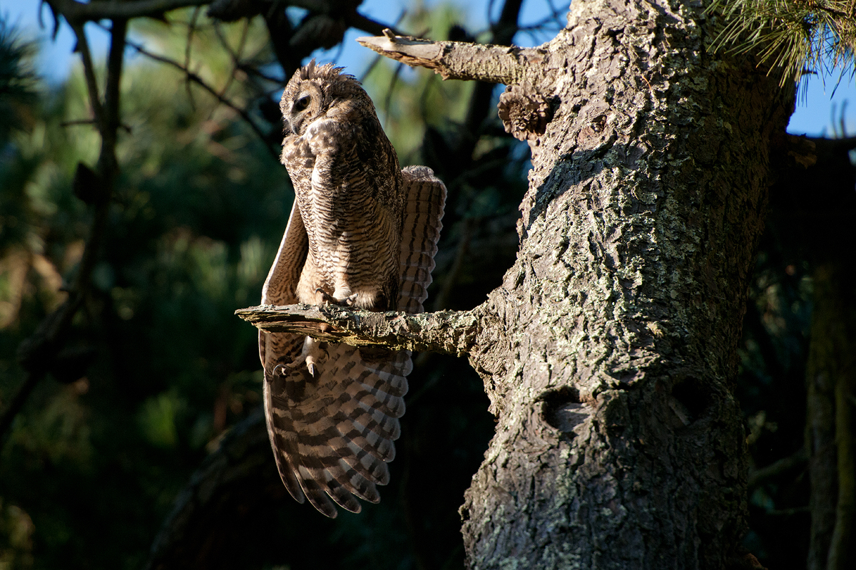 A Great Horned Owl stretches before flight.
