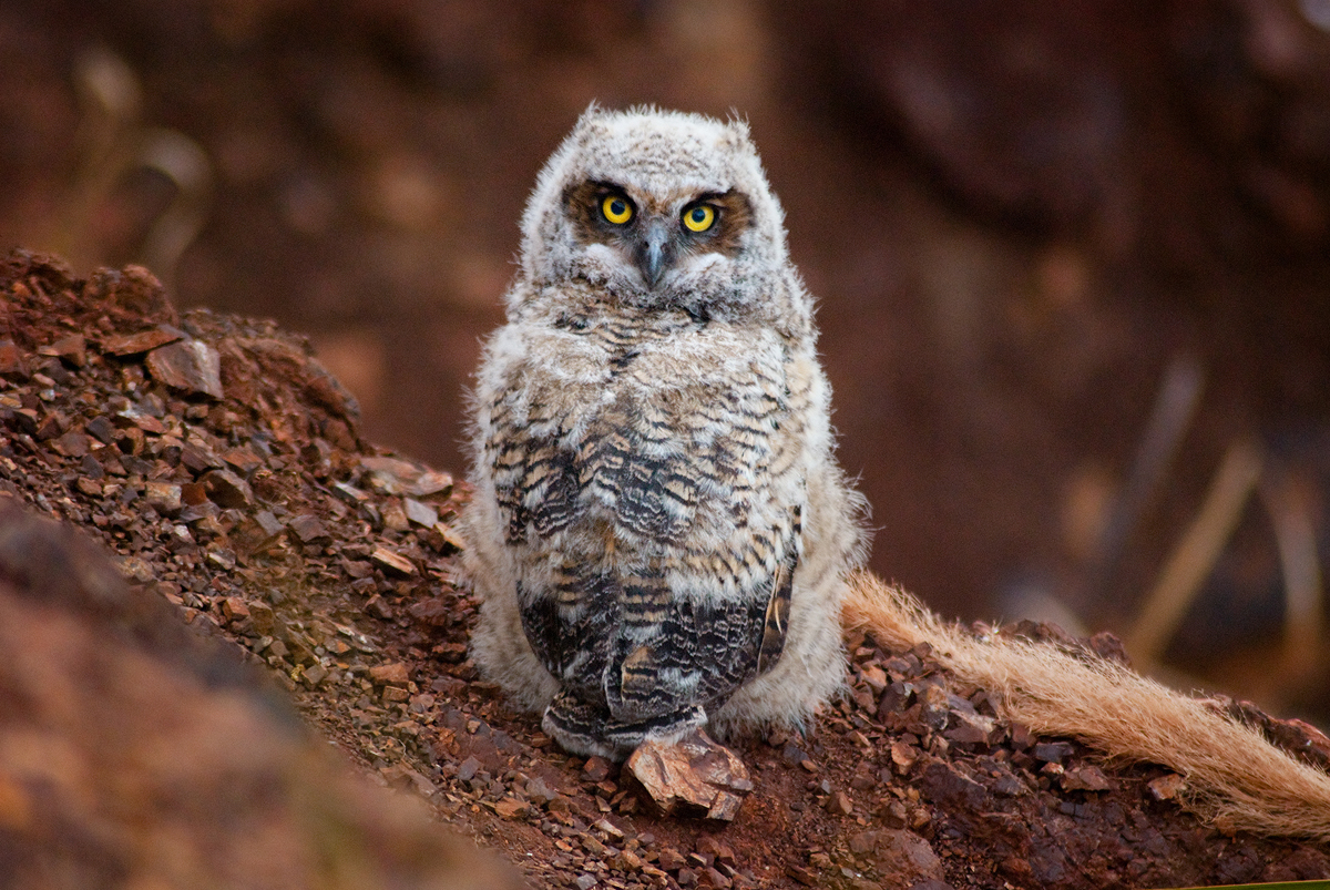A baby Great Horned Owl just after scrambling away from the nest