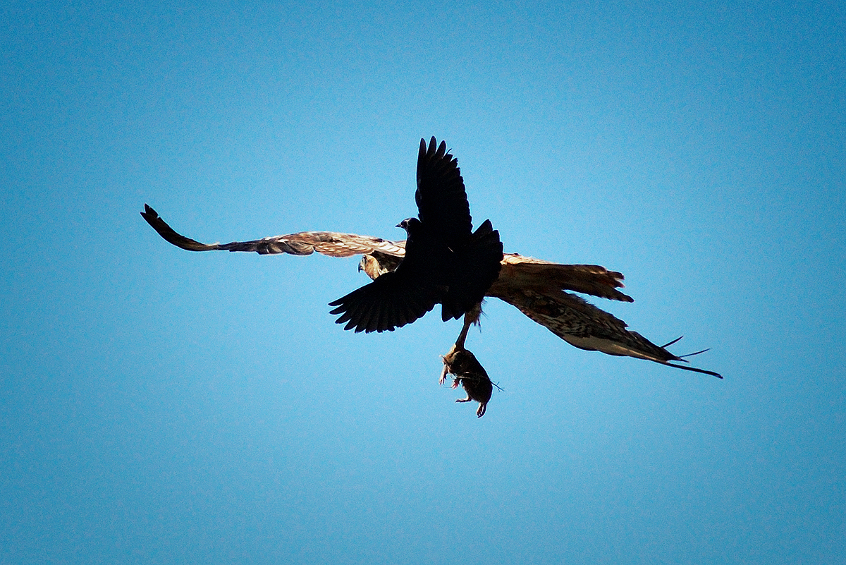 Three species in one shot. A Red-tailed Hawk mobbed by a Brewer's Blackbird as it departs with a Pocket Gopher.