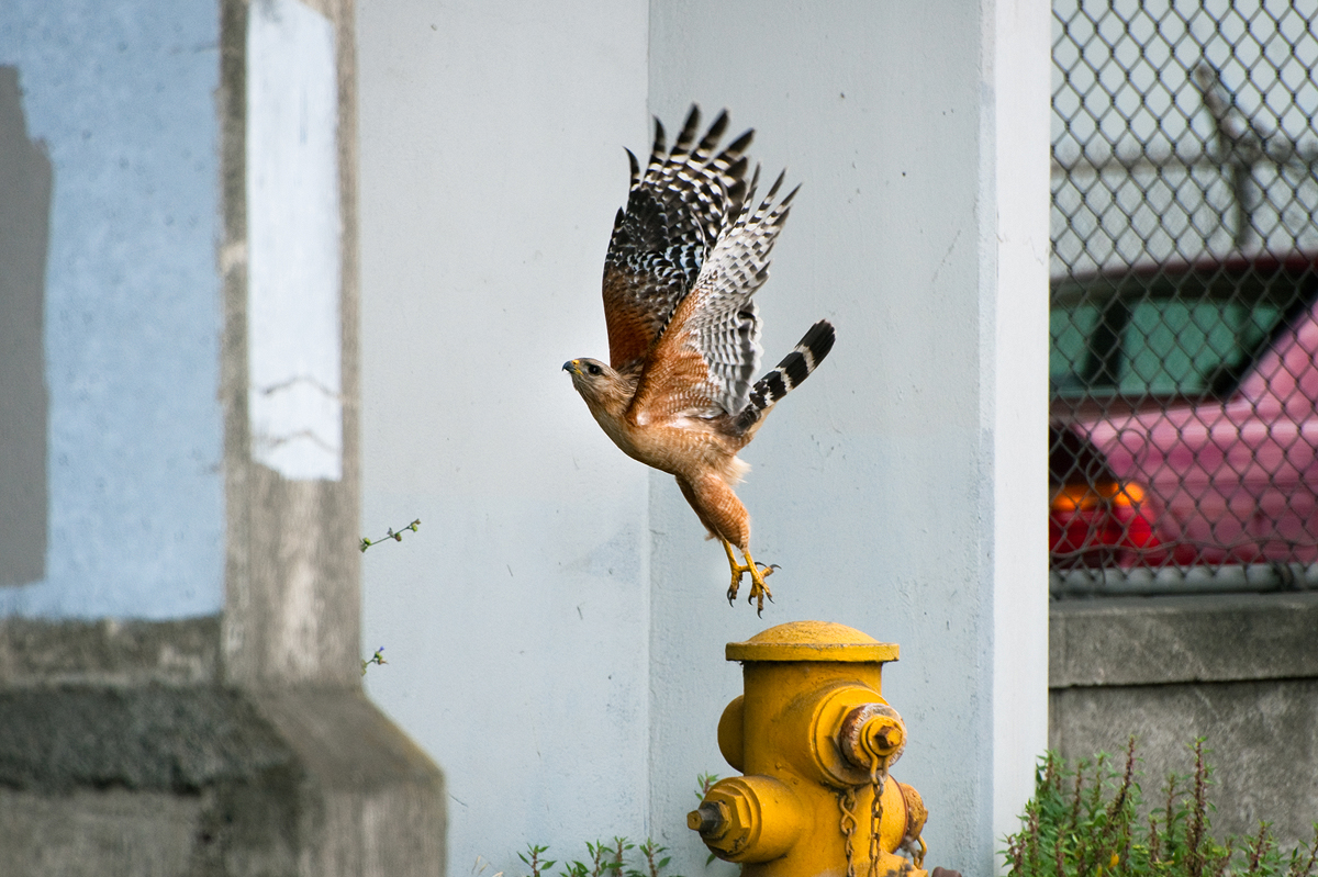 A Red-shouldered Hawk making its way in the city