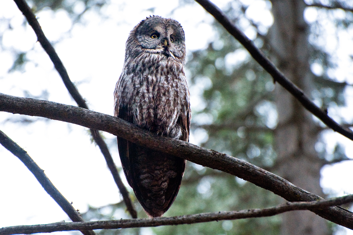 Great Grey Owls are amazing. This one was photographed near Yosemite.