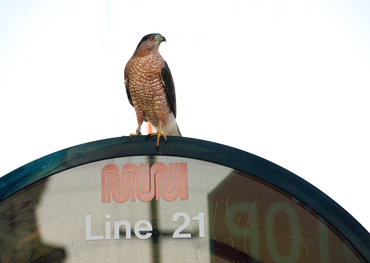 Cooper's Hawks do surprisingly well in urban environments.