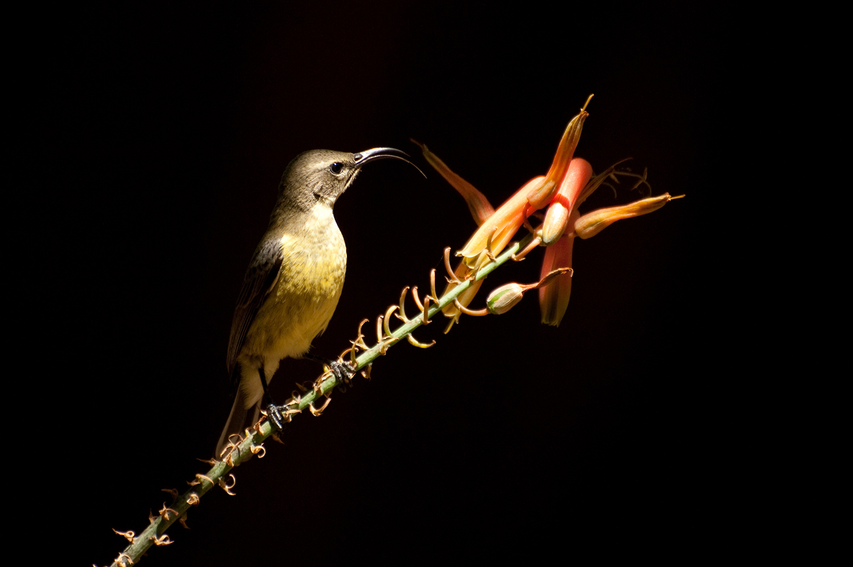A female Sunbird finds a feast.