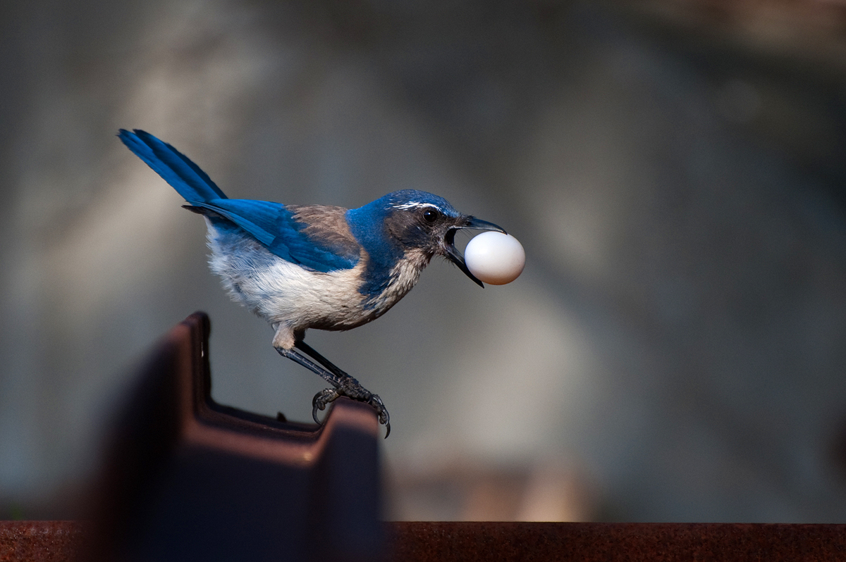 Western Scrub Jays are ravenous and smart.