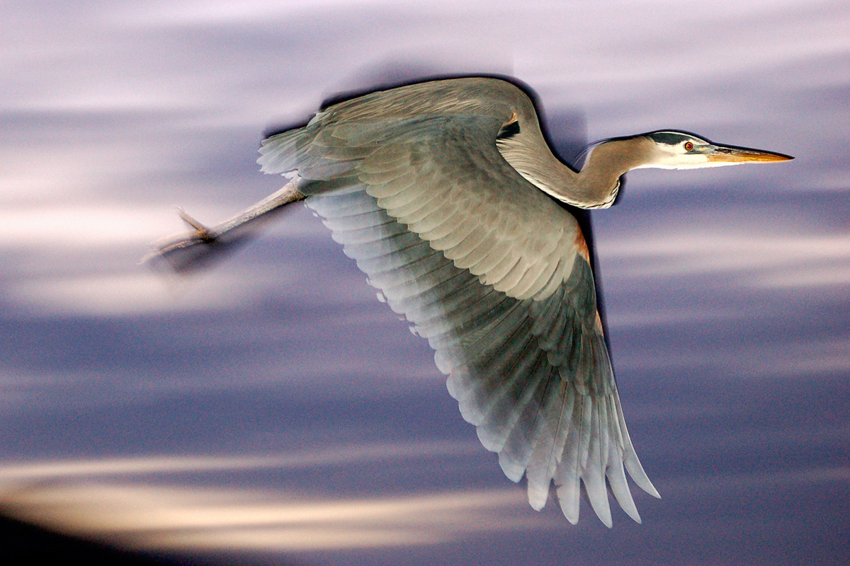 A Great Blue Heron flying past after dark.