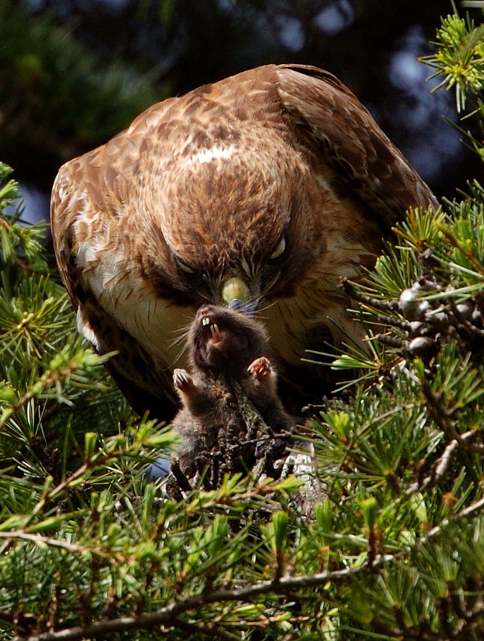 A Red-tailed Hawk prepares to devoura freshly caught gopher.