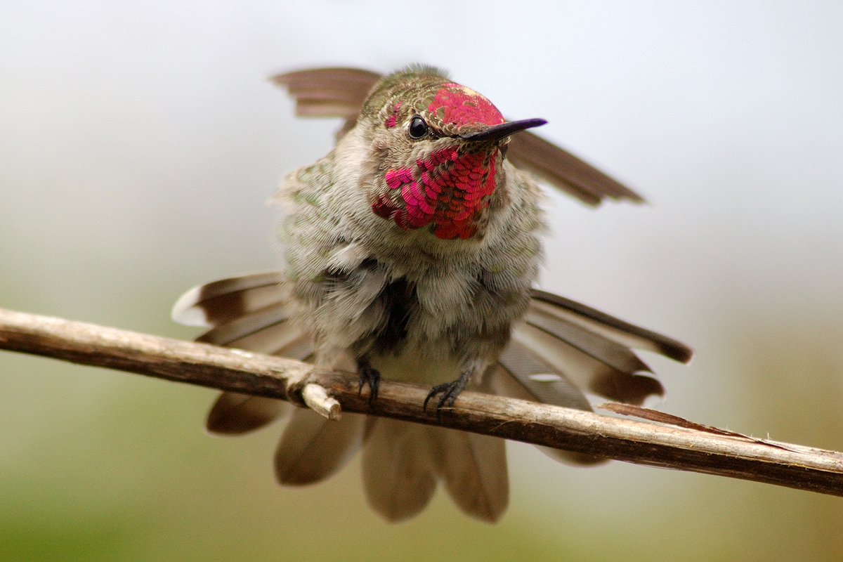 A male Anna's Hummingbird stretching.