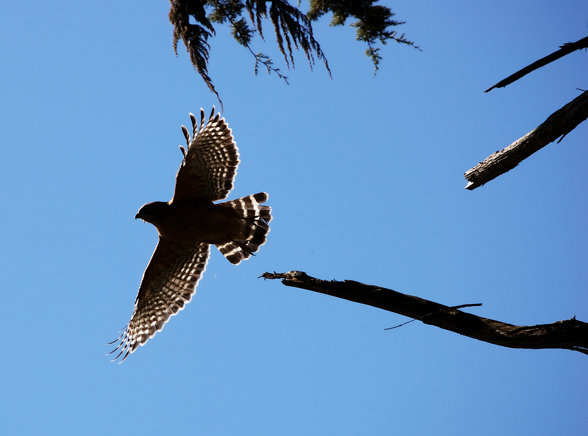The Presidio is home to a large number of Red-shouldered Hawks.