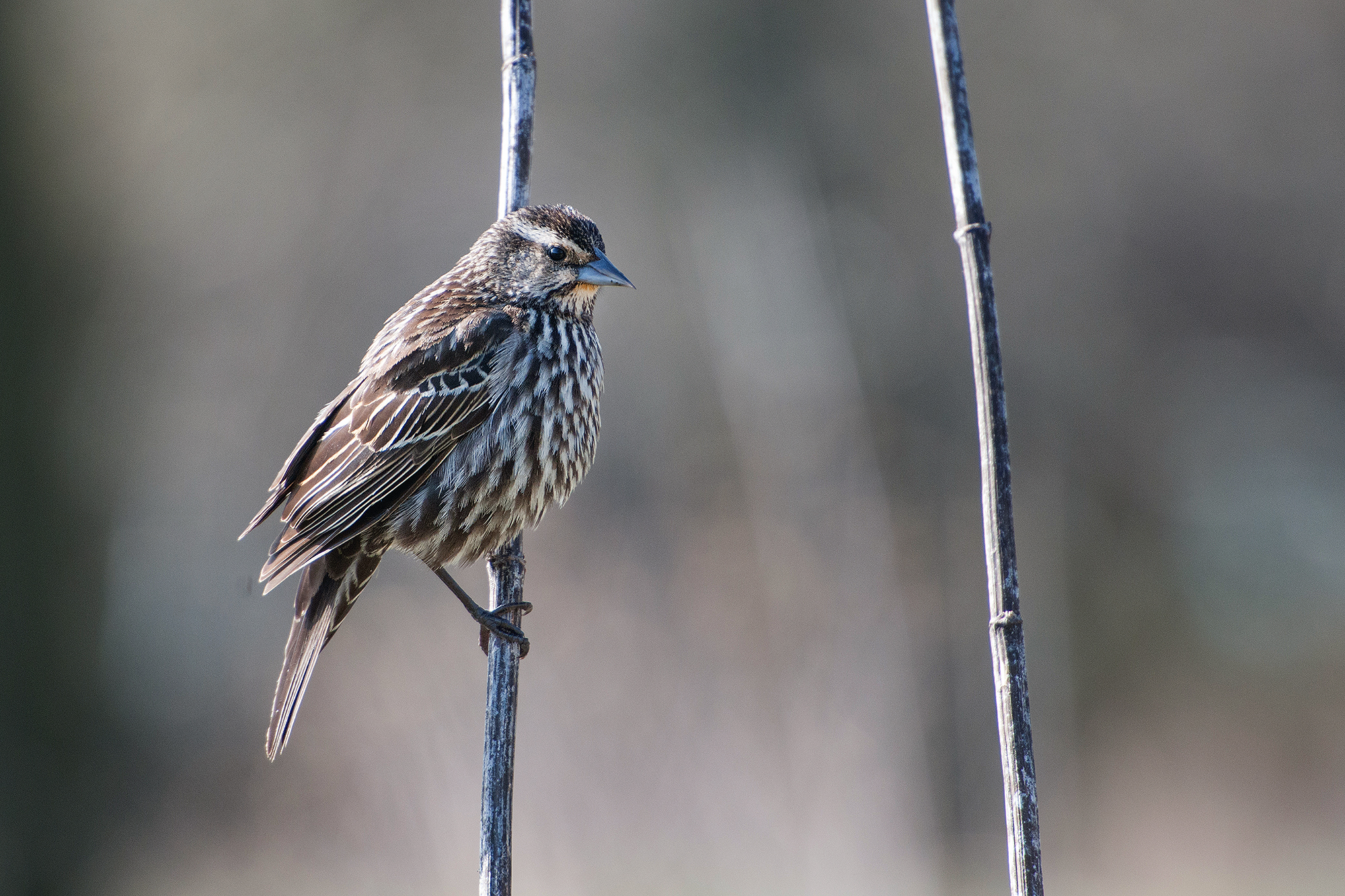 A female Red-winged Blackbird in a moment of stillness.
