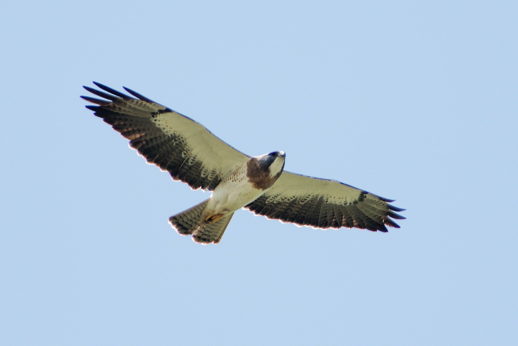 Adult Swainson's Hawk on the move on a hot day.