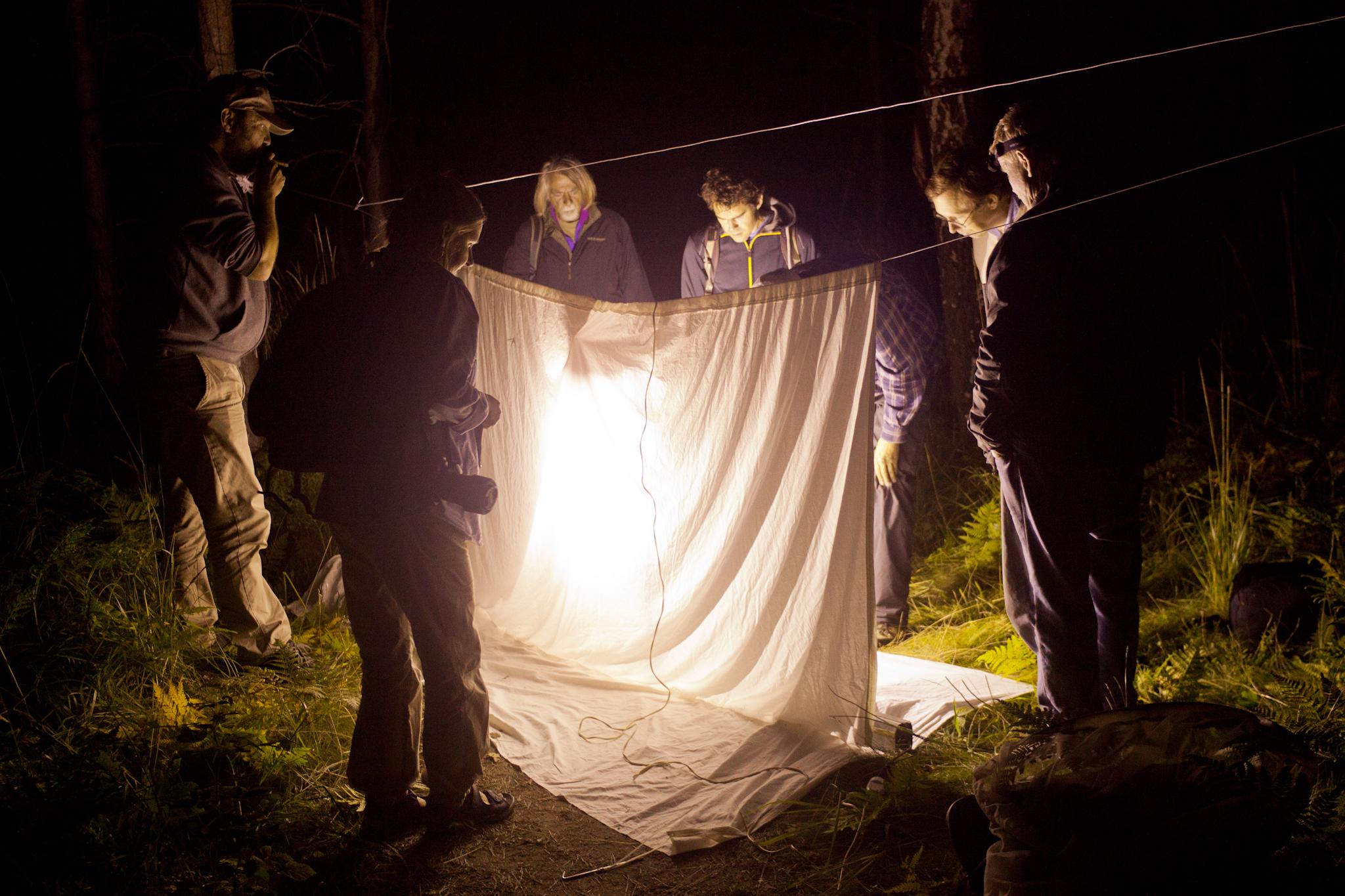 Kvällens fångst blev ganska skral men det blev åtminstone några nattfjärilar, ett par harkrankar och en buksimmare.