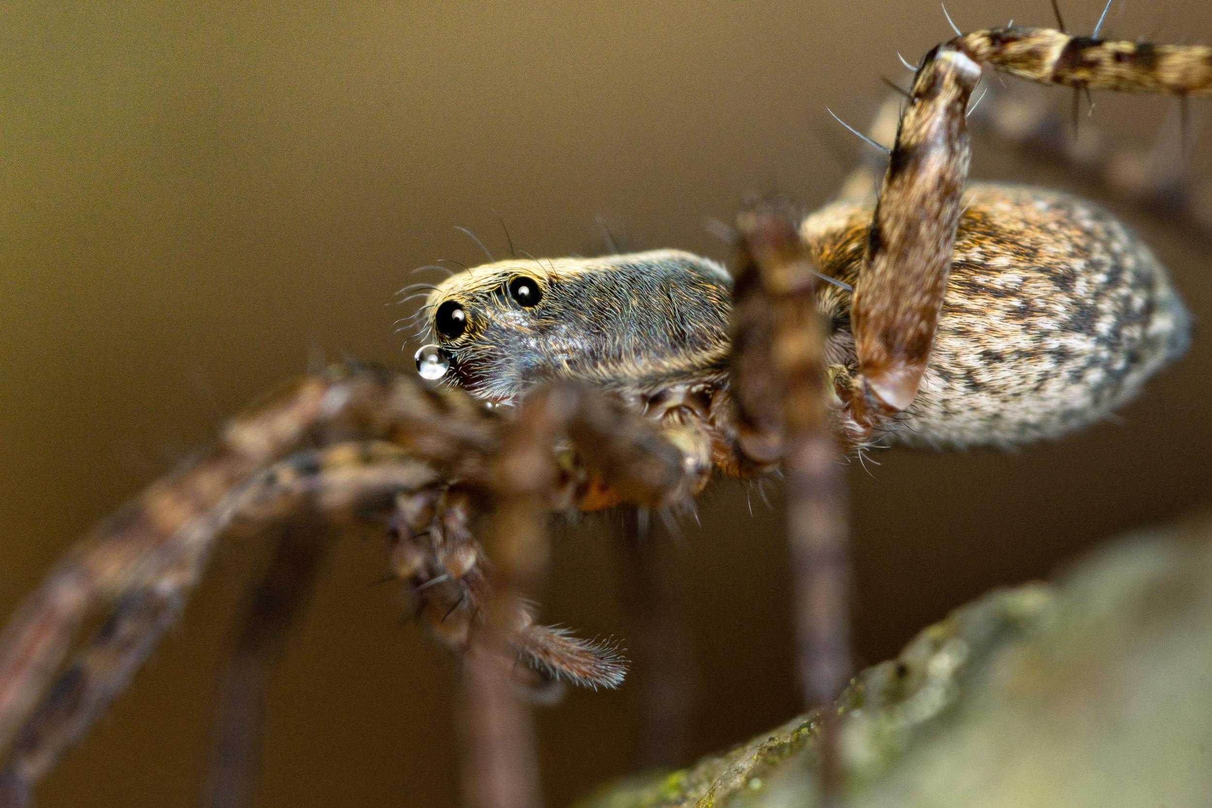 Vargspindel, Lycosidae