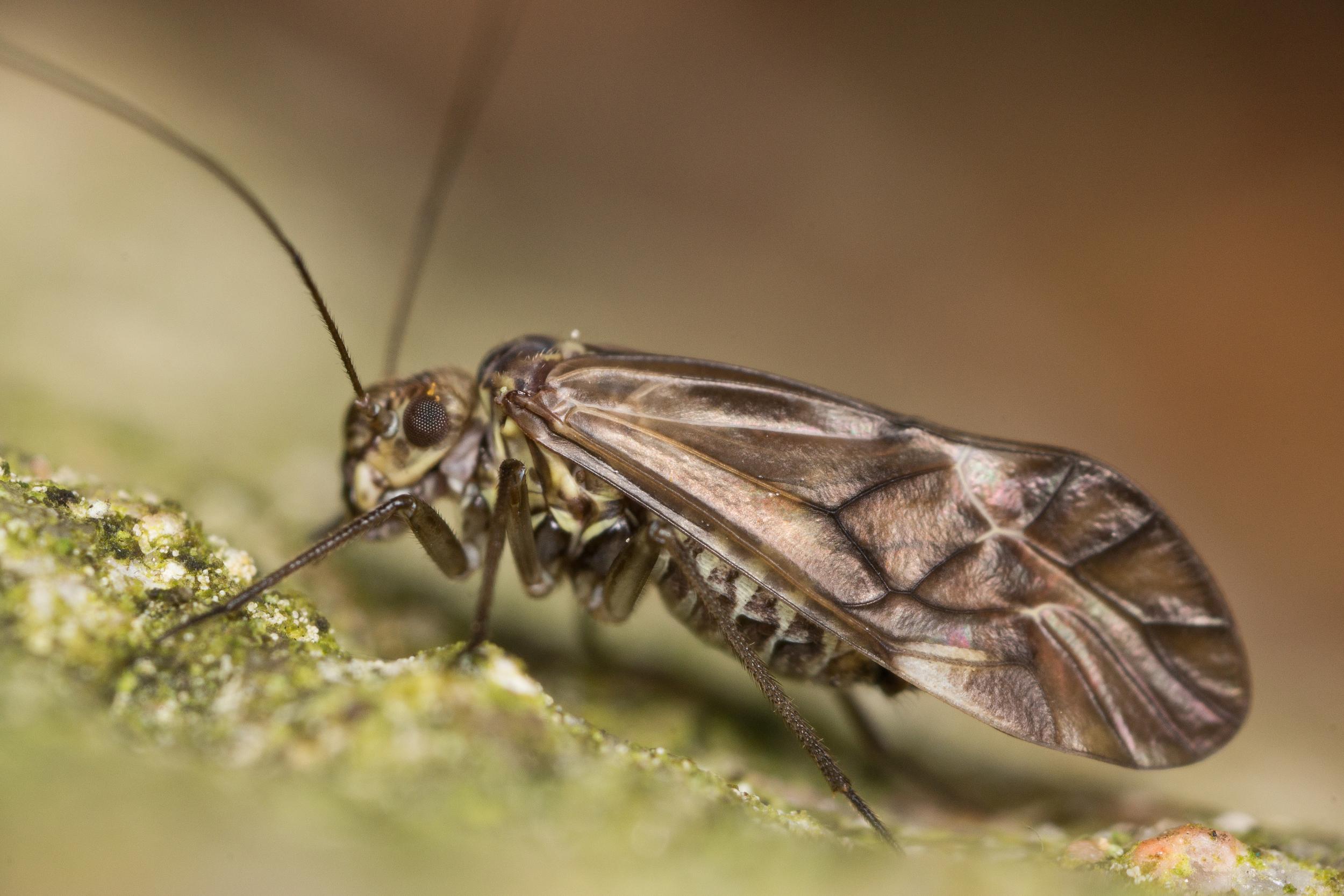 Storstövslända, Psocidae