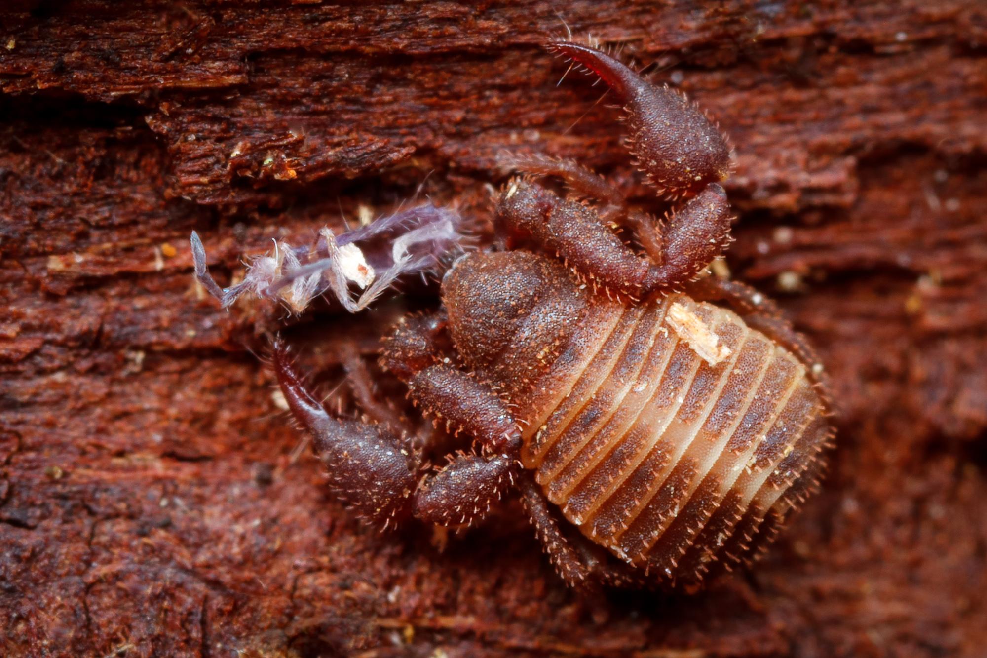 Chernes cimicoides, rutklokrypare
