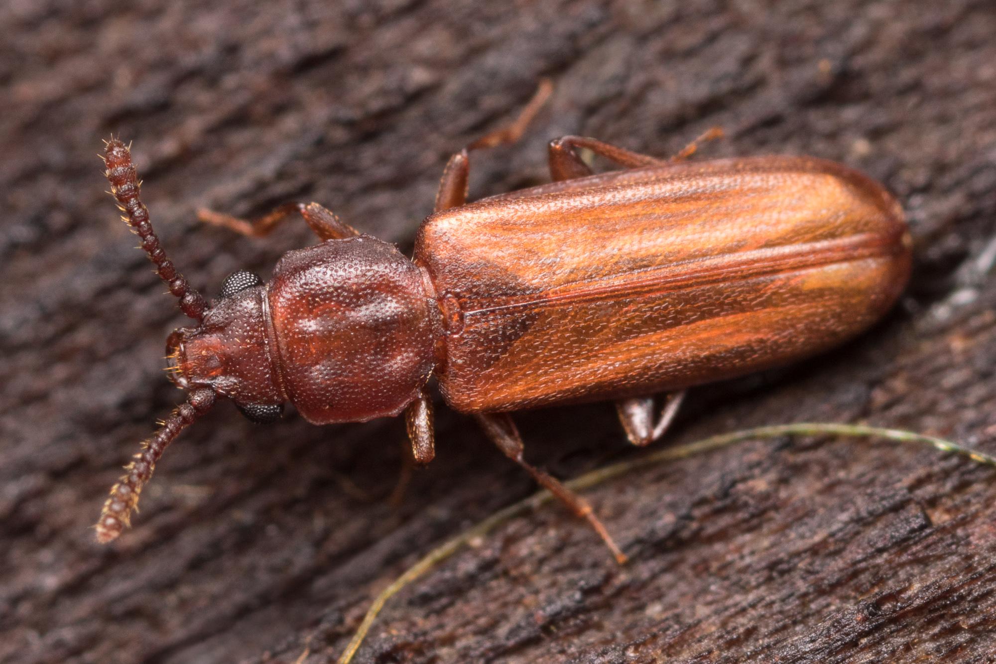 Pediacus depressus, plattbagge