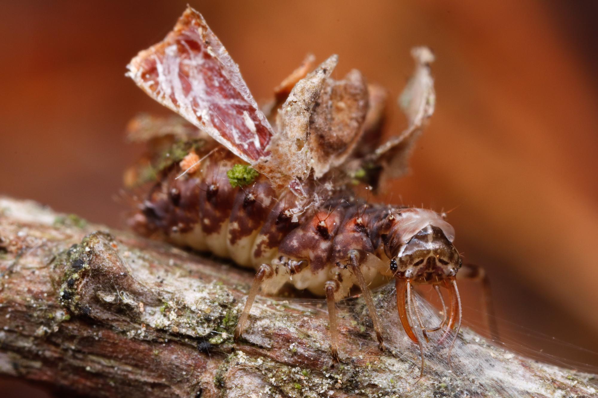 Neuroptera, nätvingelarv