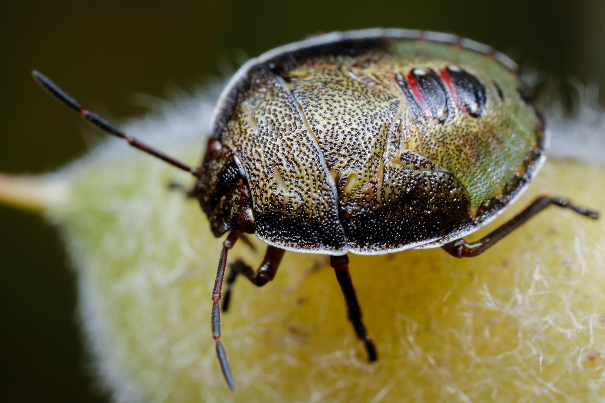 Piezodorus lituratus, harrisbärfis (larv)